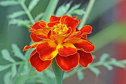 250px-French_marigold_Tagetes_patula